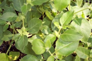 Ashwagandha(Withana somnifera)  Photo